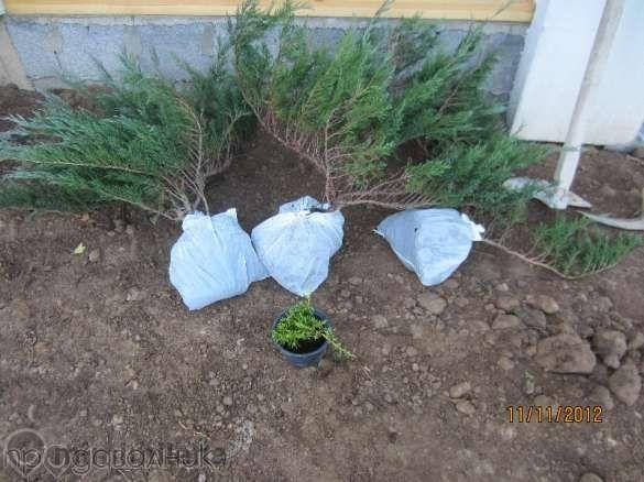 Зелена сабина юниперус, смрика, хвойна-3лв/бр 10бр-27лв qntra_mmm_sabina1.jpg Big