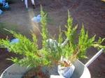 Зелена сабина юниперус, смрика, хвойна-3лв/бр 10бр-27лв qntra_mmm_sabina2.jpg