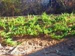 Зелена сабина юниперус, смрика, хвойна-3лв/бр 10бр-27лв qntra_mmm_sabina4.jpg